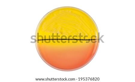 Staphylococcus aureus bacteria on petri dish, isolated on white background - stock photo