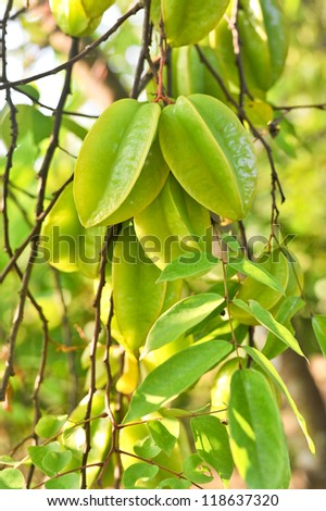 star apple fruit on tree