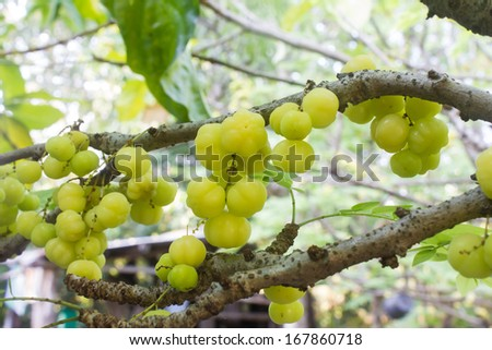 star gooseberry on tree - stock photo