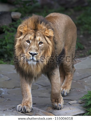 Stare full-size portrait of a young Asian lion. Vertical image. The King of beasts with splendid mane. Wild beauty of the biggest cat. The most dangerous and mighty predator of the world. - stock photo