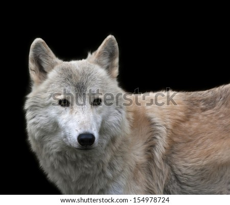 Stare of a polar wolf male, isolated on black background. Eye to eye with the very dangerous beast of the cold North. Severe beauty of the wildlife. - stock photo