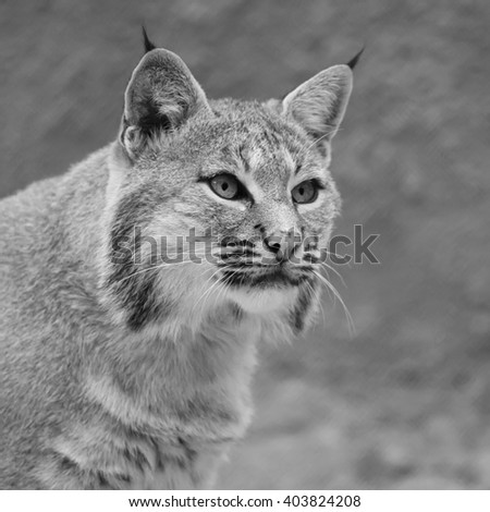 Stare of a red bobcat female, very beautiful beast of the North American forests. The head of the dangerous predator. Cute and cuddly animal of the wildlife. Black and white square image. - stock photo