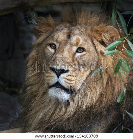 Stare of an Asian lion, resting in forest shadow. Square image. The King of beasts, biggest cat of the world. The most dangerous and mighty predator of the world. - stock photo
