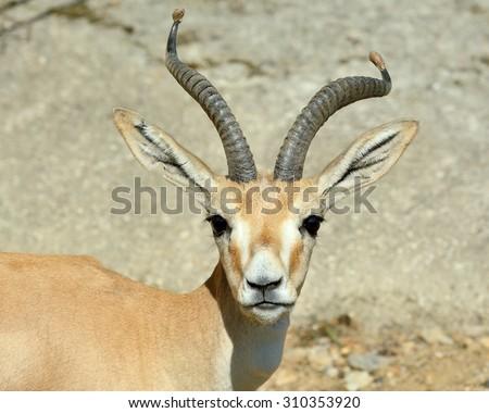 Stare of Goitered gazelle  (Gazella subgutturosa) - stock photo