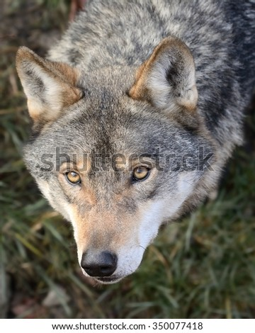 Stare of Gray wolf  (Canis lupus)