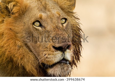 Stare of the King - stock photo