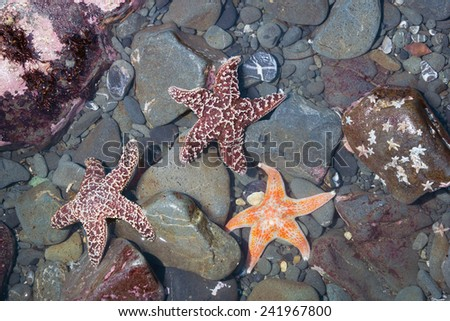 Starfish at low tide on the Pacific coast (Northern California) - stock photo