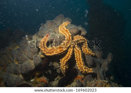 starfish in adriatic sea croatia