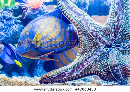 Starfish is sticking on glass and King angel fish in fishtank. - stock photo