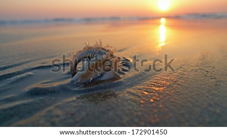 Starfish on the beach, buried in the sand. Sunset, backlight. - stock photo