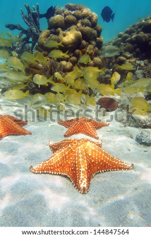 Starfish underwater on sandy seabed with a school of tropical fish and coral in background, Caribbean sea - stock photo