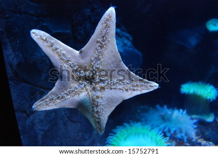 Starfish with anemones in background - stock photo