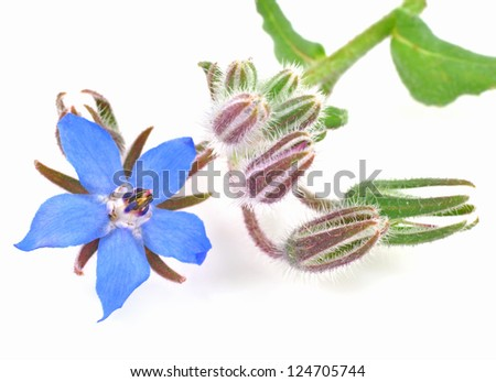 Starflower - stock photo