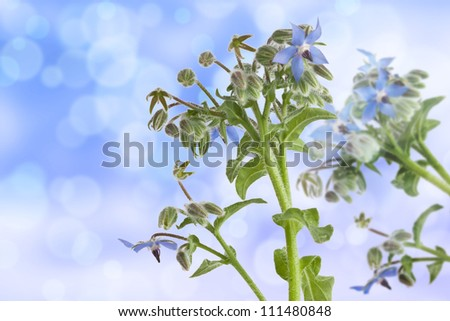 Starflowers (Borage) on bokeh light effect background - stock photo