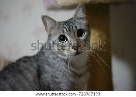 https://thumb1.shutterstock.com/display_pic_with_logo/167494286/728967193/stock-photo-staring-egyptian-mau-728967193.jpg