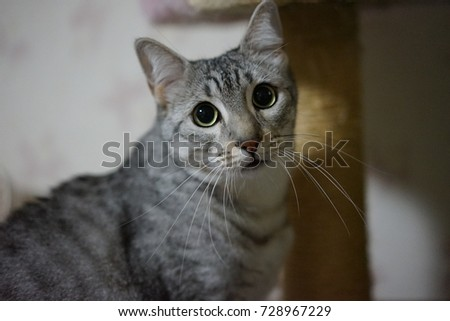 https://thumb1.shutterstock.com/display_pic_with_logo/167494286/728967229/stock-photo-staring-egyptian-mau-728967229.jpg