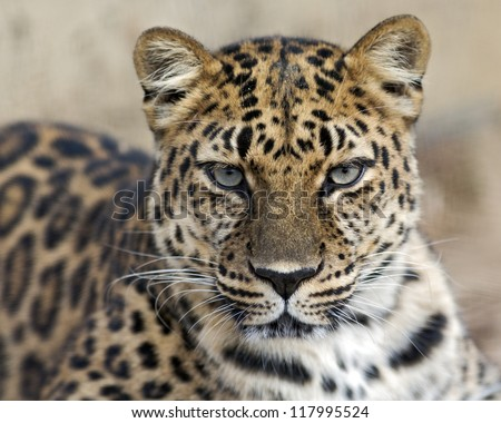 staring leopard - stock photo