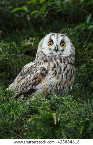 Staring owl. A splendid long-eared owl appears to stare straight at the camera. - stock photo