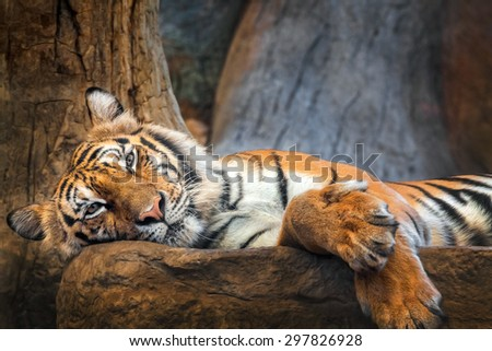 staring tiger - stock photo