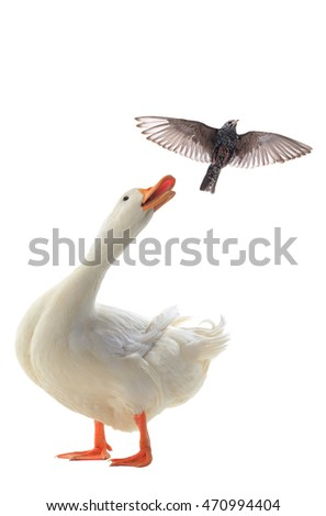 Starling and Duck on a white background
