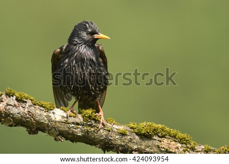 Starling bird on the branch (sturnus vulgaris)