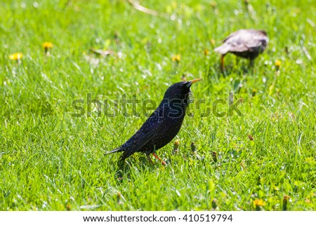 Starling in the green grass