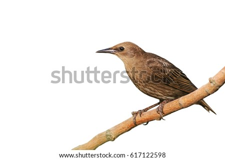 Starling isolated on white,wildlife bird