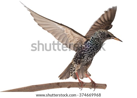 Starling with  spread wings isolated on white. Studio - stock photo