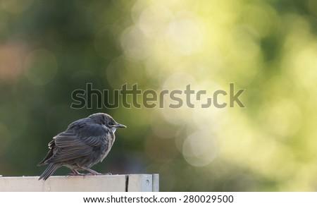 starlings feeding - stock photo