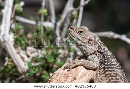 Starred Agama  lizard on a rock at the island of Delos in Cyprus
