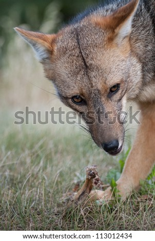 Starring at a red fox eating his meal - stock photo