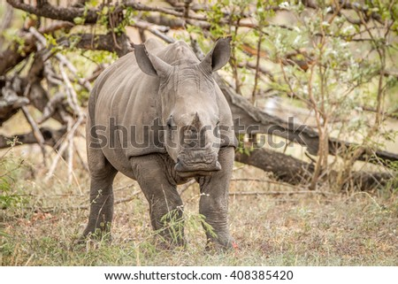 Starring baby White rhino in the Kruger National Park, South Africa. - stock photo