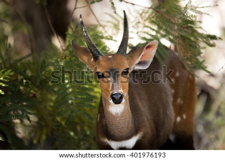 Starring Bushbuck in the Kruger National Park, South Africa.