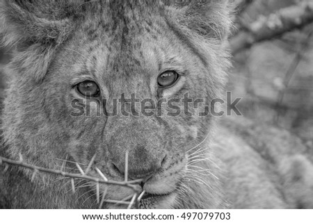Starring Lion cub in black and white in the Kruger National Park, South Africa.