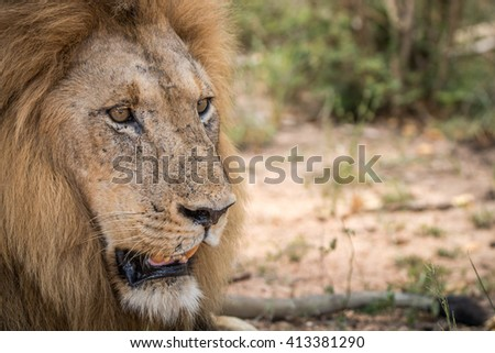 Starring Lion in the Kruger National Park, South Africa. - stock photo
