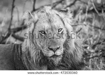 Starring male Lion in black and white in the Kruger National Park, South Africa.