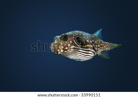 Stars and Stripes Puffer (Arothron hispidus) with deep sea background - stock photo