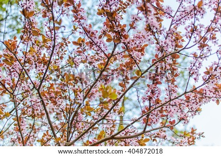 Start of spring: flowering tree, blossoming tree, clear sky