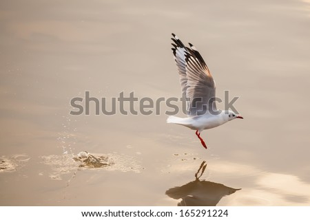 Start to fly ommon Gull (European and Asian subspecies) in nature - stock photo