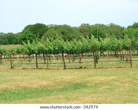 Starting of the growing season in the vineyard - stock photo
