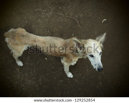 Starving stray dog on the slope of  The Mombacho Volcano near Granada, Nicaragua.  She has been passed by hundreds of tourists, photographed by few, fed, it appears by next to none - stock photo