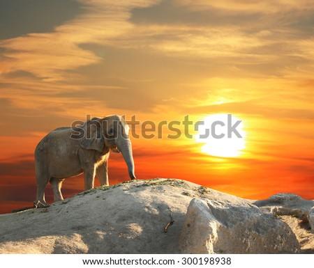 Stately african elephant at sunset - stock photo
