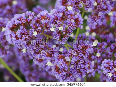 Statice flowers known also as limonium or sea lavender