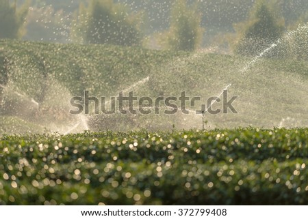 steam sprinkle in Green tea garden hill at north, Thailand