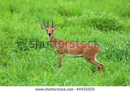 Steenbok - stock photo