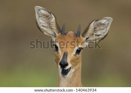 Steenbok (aka steinbuck or steinbok) antelope male - stock photo