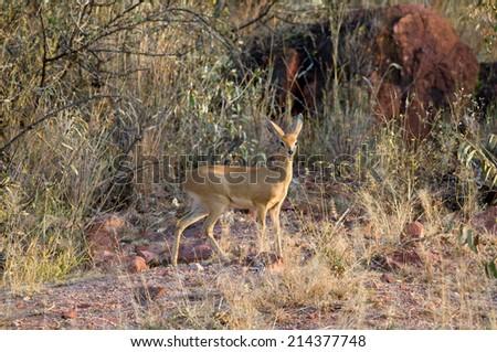 Steenbok antelope - stock photo