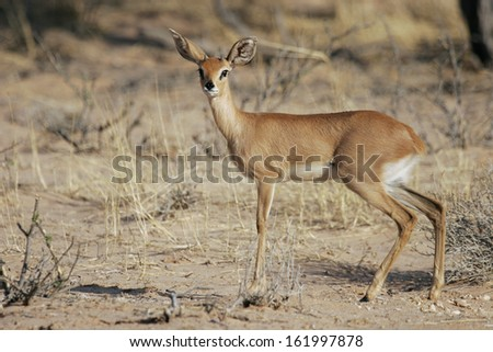 Steenbok, Raphicerus campestris, South-Africa