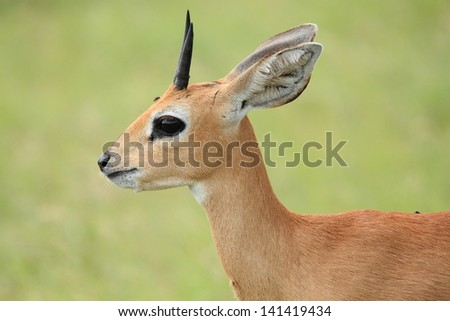 steenbok small antelope woodlands and savannas of South Afica mammal - stock photo