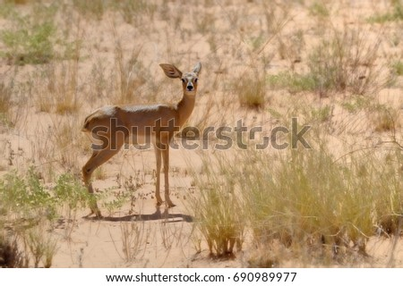 STEENBUCK (Raphiceros campestris) a small antelope of the arid savanna which depends on extremely acute senses and its shy nature to evade the many predators it shares the desert with.